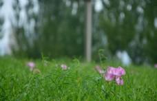 某地與粉色小花