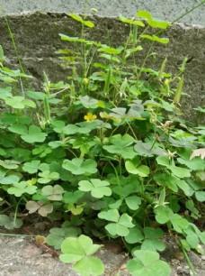 黃花醡漿草