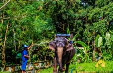 苏梅岛大象