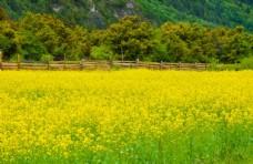 西藏沿途油菜花田
