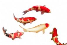 锦鲤  鲤鱼