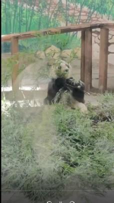 手機拍攝熊貓