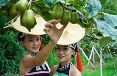 猕猴桃 傣族 奇异果 水果