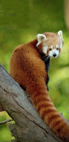 爬树小浣熊