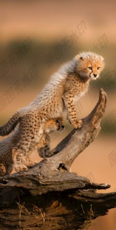 好奇的豹崽