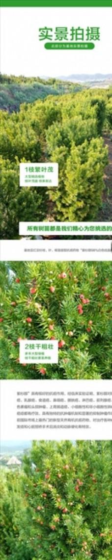 详情页红豆杉