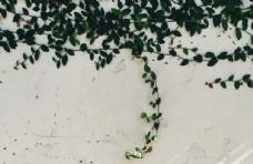墙面爬山虎花藤植物背景素材