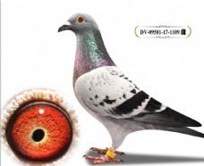 信鸽修图图片