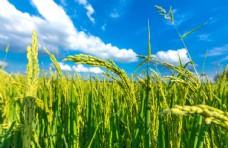 田野小麦图片