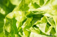 白菜叶图片
