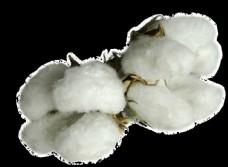 棉花图图片